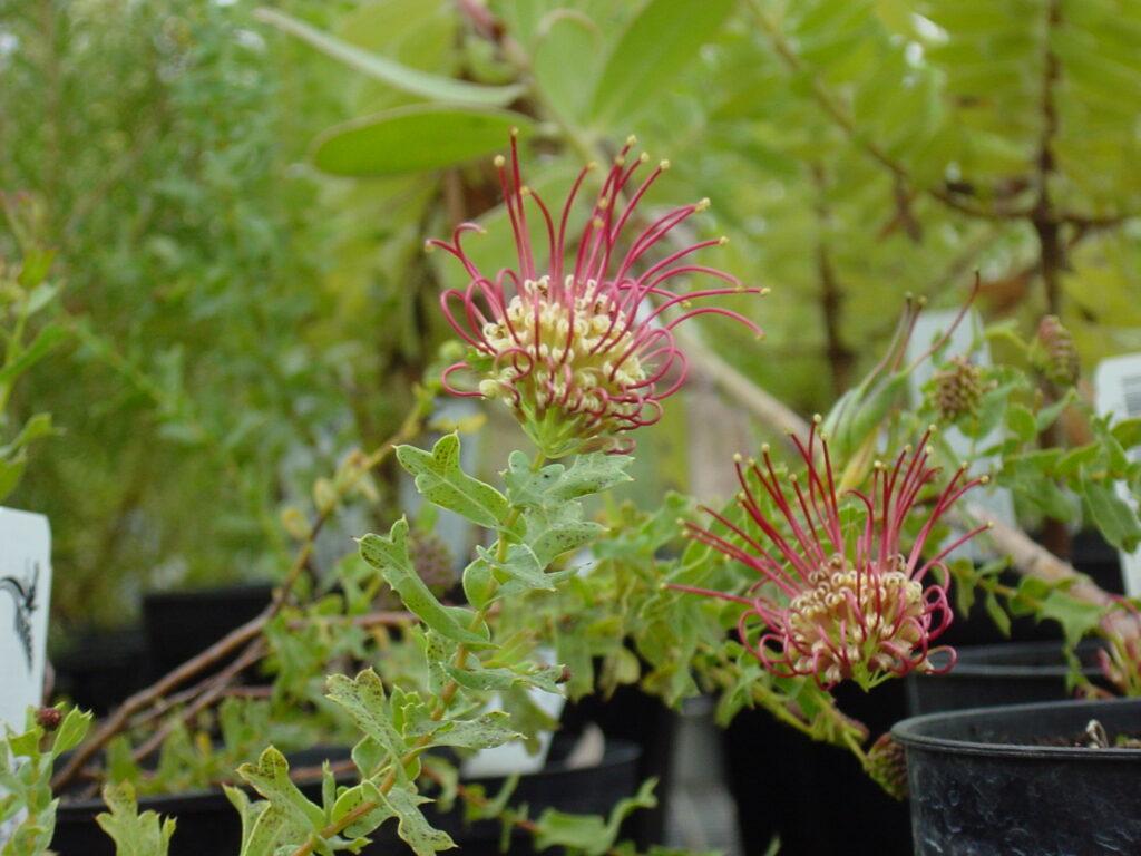 Grevillea maccutcheonii - Maccutcheon's Grevillea