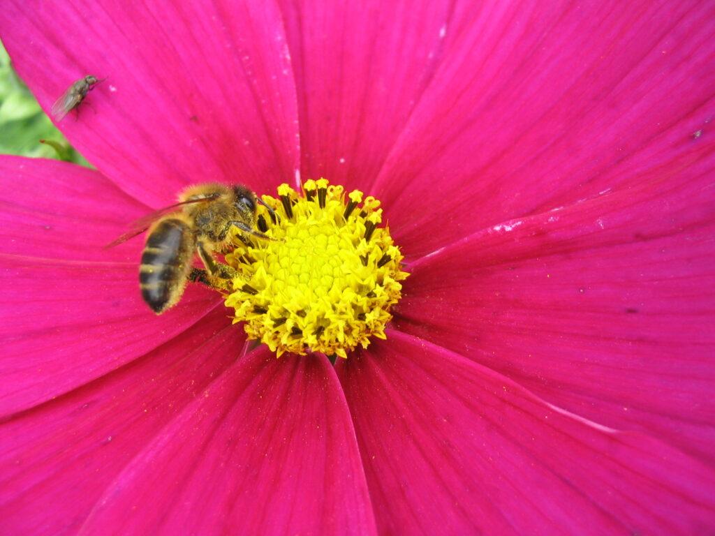 Honey bee in the Bee Garden