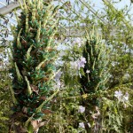 Flowering puya in the Chile section of the Great Glasshouse