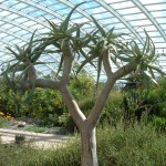 Aloe dichotoma, Quiver Tree, in the Great Glasshouse