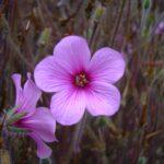 Plant Geranium maderense - Madeira Geranium