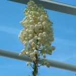 Plant Hesperoyucca whipplei - Our Lord's Candle, in the Great Glasshouse
