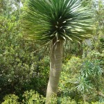 The dragon tree is one of the most iconic plants in the Great Glasshouse