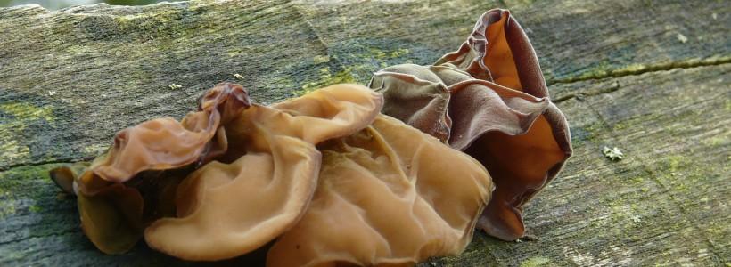 Fungi Auricularia auricula-judae - Jew's Ear, on Wawa tree,
