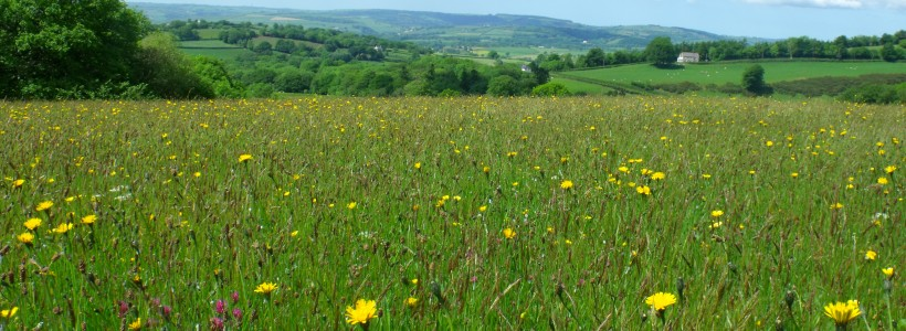 Organic hay meadows at Waun Las, managed according to traditional practices