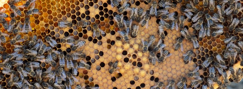 Honey bees in our apiary
