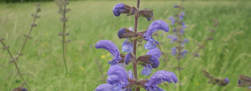 Salvia pratensis, meadow clary