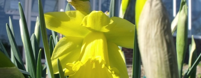 Narcissus 'St. Patrick's Day'