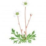 Irish Saxifrage