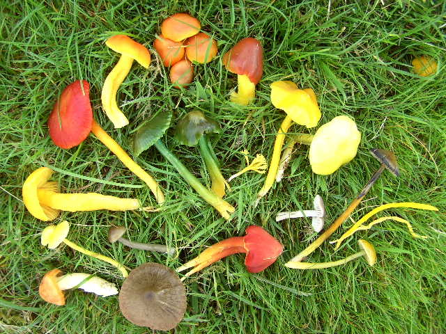 Colourful varieties of waxcap fungi
