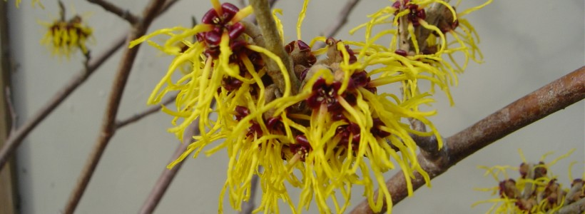 yellow witch-hazel flowers