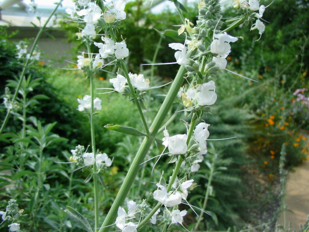 White Sage National Botanic Garden Of Wales
