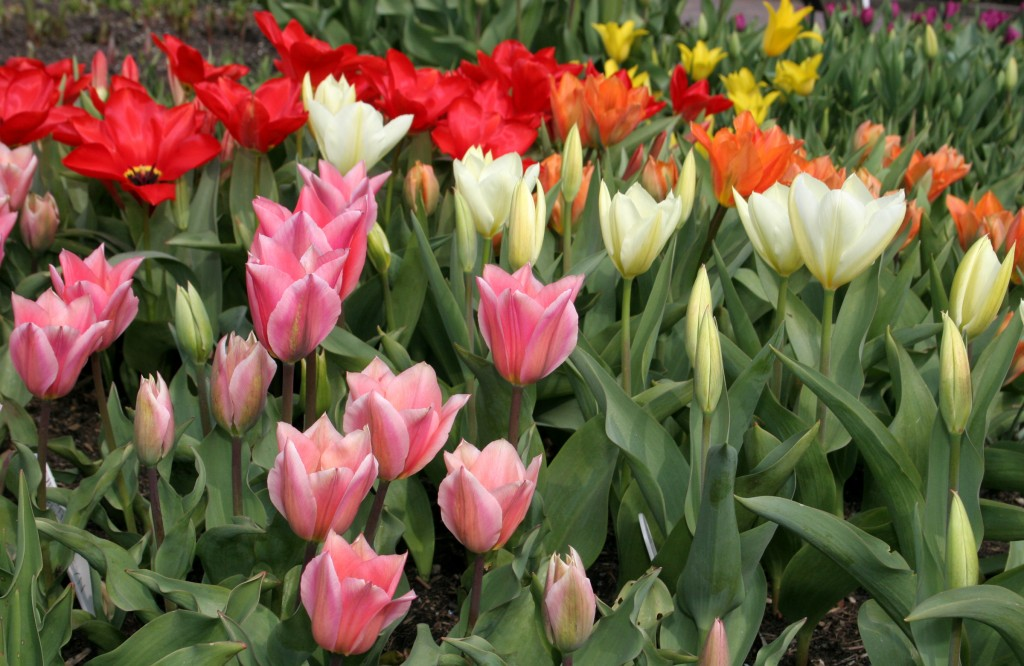 A wide variety of colourful tulips