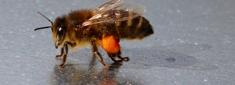 A honey bee with its collected pollen