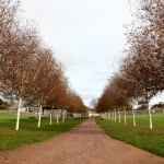 Himalayan birch avenue in the Double Walled Garden