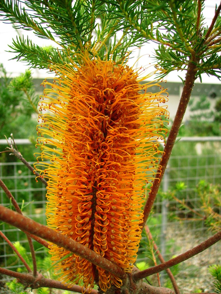 Large orange flower of Heath-leaved Banksia