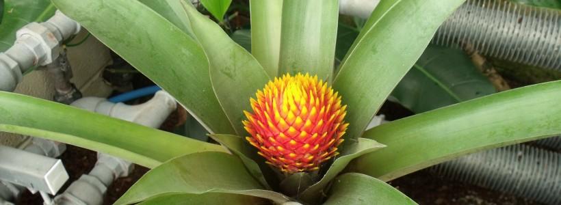 Striking round orange flower of Guzmania