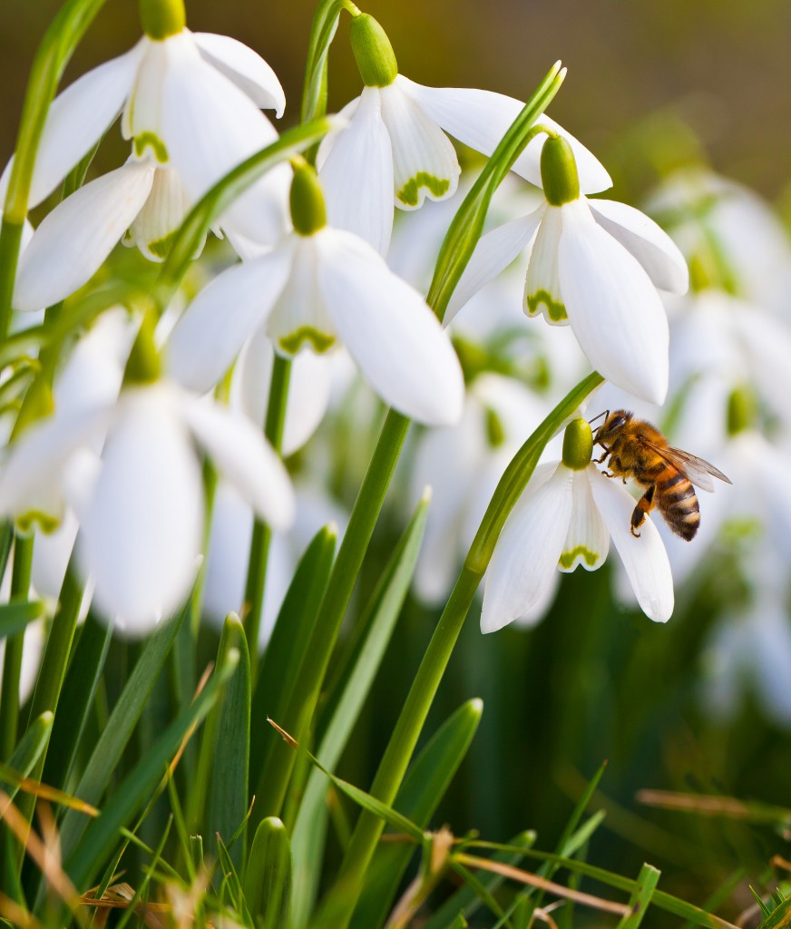 Snowdrops are visited by a honey bee