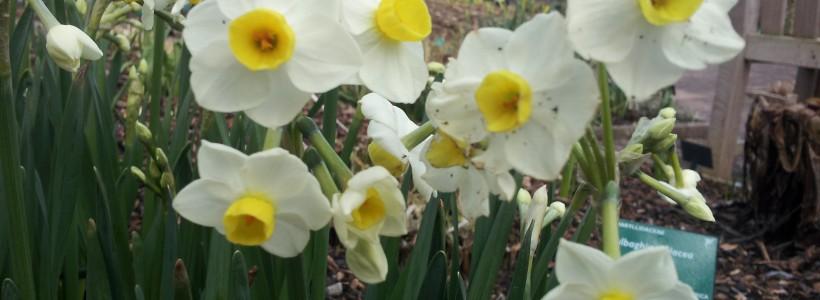 Daffodils Flower Early