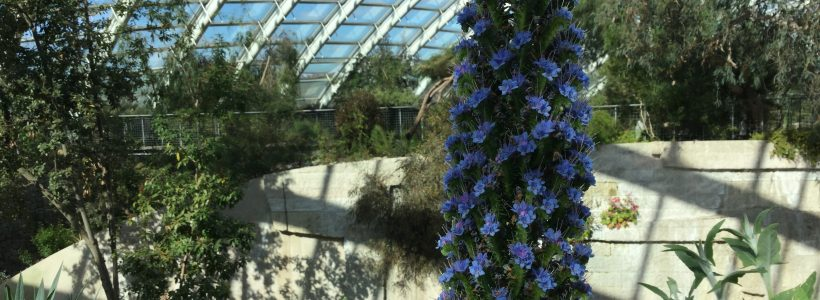 Echium in bloom in the Great Glasshouse