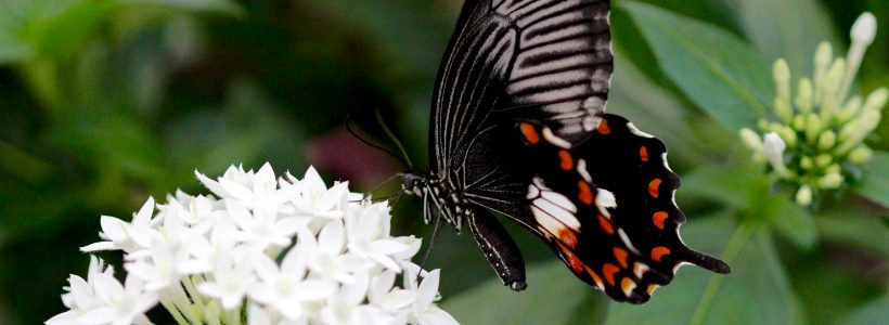 The butterfly that results; the Common Mormon, Papilio polyetes