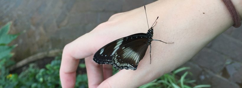 A Blue Moon (Hypolimnas bolina) butterfly on my hand.