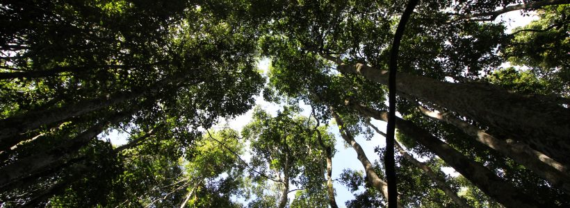 Looking up at the canopy of one of the plots.