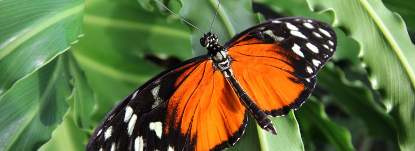 Volunteers Needed for Plas Pilipala Butterfly House