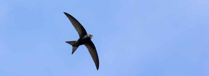 A swift high in the sky above the Garden