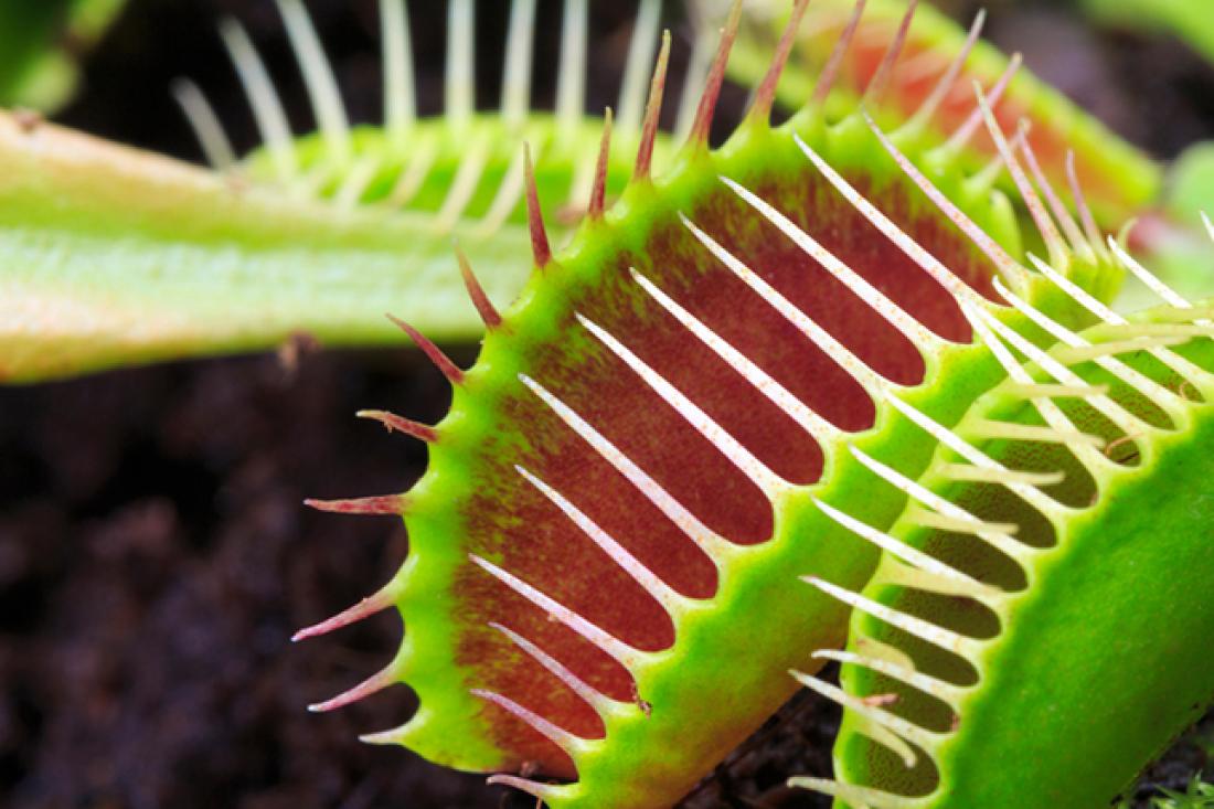 Carnivorous Plant Society Show   National Botanic Garden ... Carnivorous Plants Eating