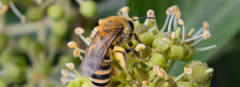 The search for the ivy bee continues..