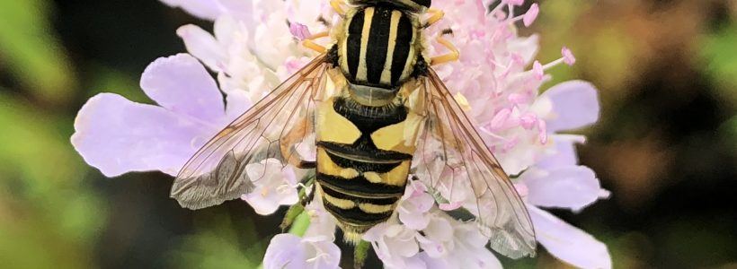 Hoverfly Ecology
