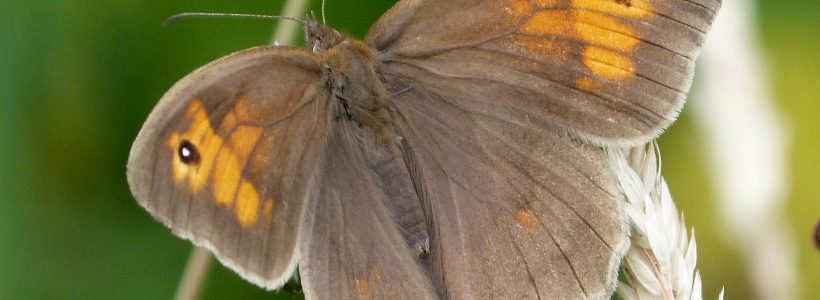 Pollinator of the day #5 - Meadow brown (Maniola jurtina)