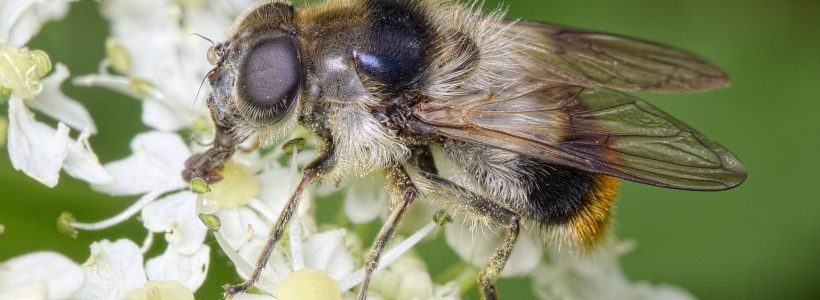 Pollinator of the day #4 - Bumblebee hoverfly (Cheilosia illustrata)