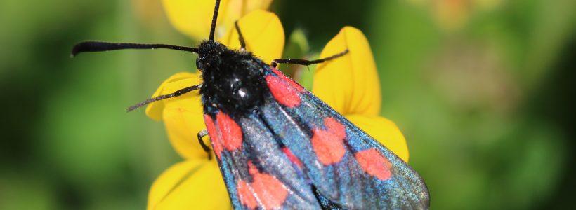 Pollinator of the day #1 - Five-spot burnet moth (Zygaena trifolii)