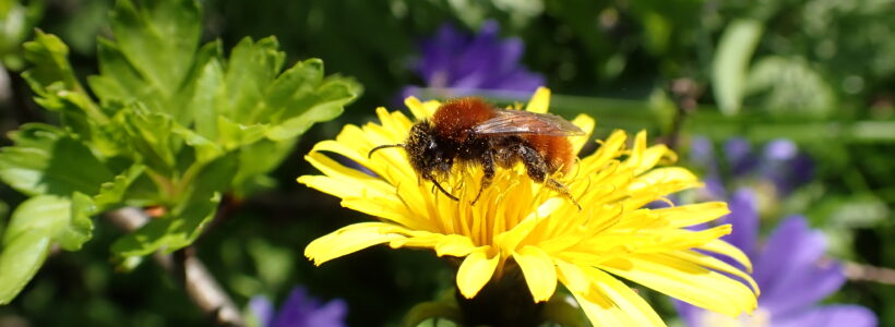 Solitary bees and where to see them