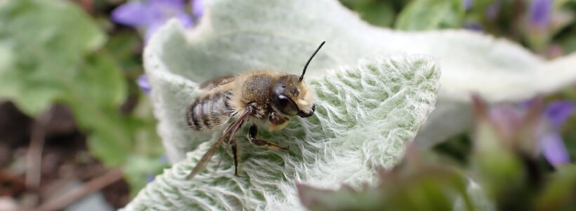 Willughby's leafcutter bee